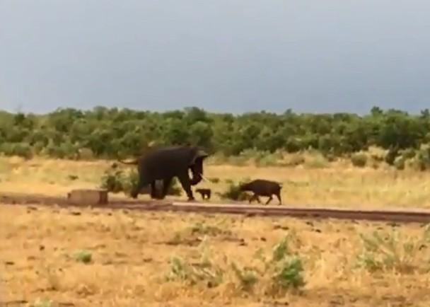 南非小水牛向前冲 吓得大象往后退
