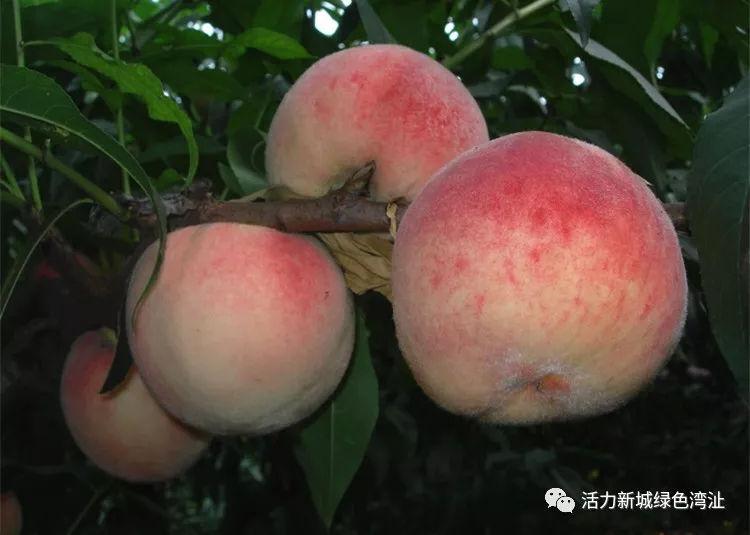 芜湖裕丰生态园冬桃熟了 市民可自驾前往采摘