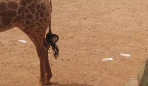 云南昆明动物园惊见游客1万元现金投食长颈鹿